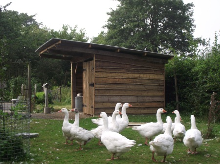 Geese at home